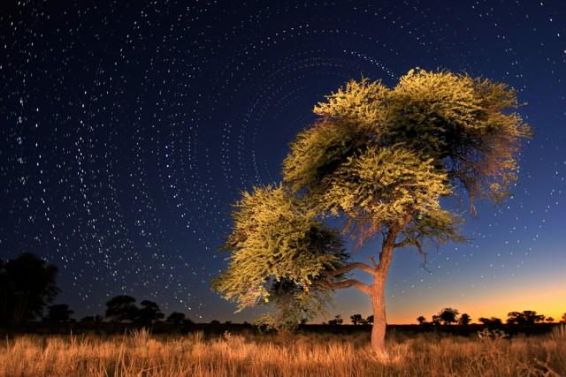 camel thorn tree / acacia