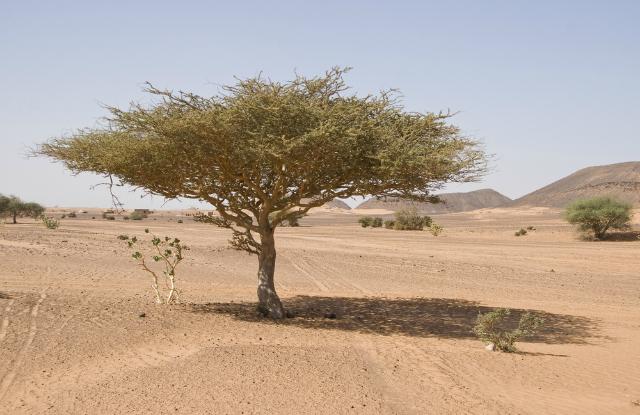 sudan acacia