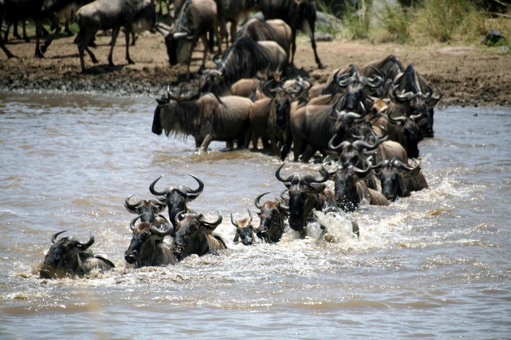 Great Migration 2015 Tourist Captures First Mara River