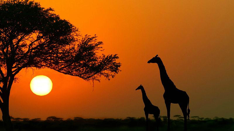 10 Things You Didnt Know About African Acacia Trees Afktravel