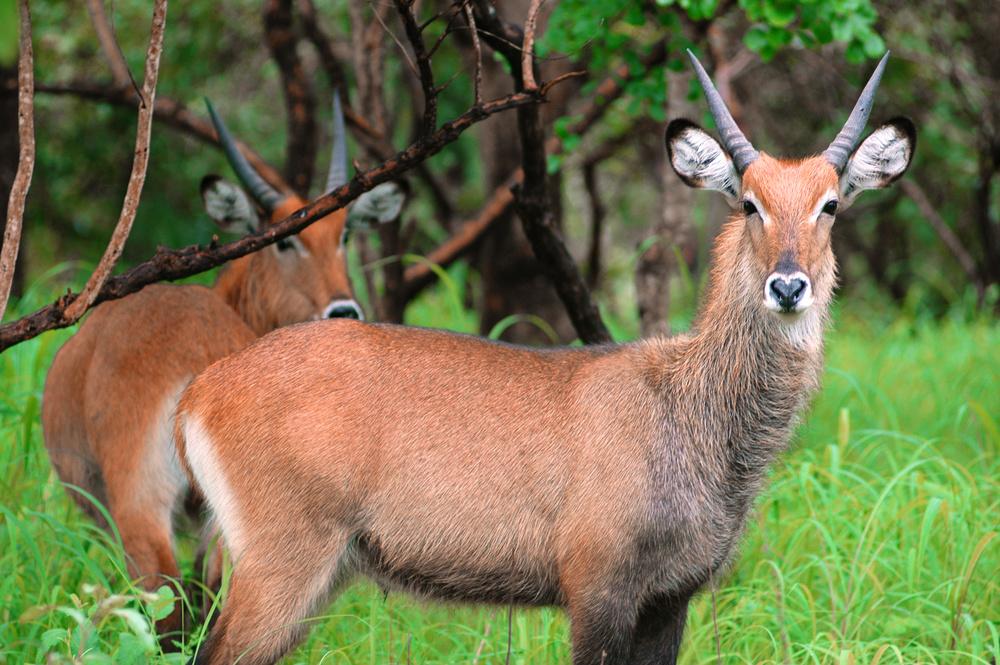 antelope Niokolo Koba National Park