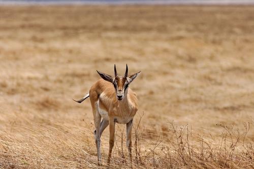gazelle ngorongoro