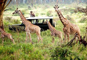 Mara Naboisho giraffes