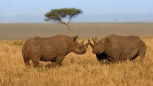 masai mara rhino