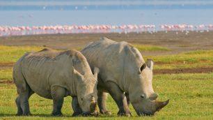 nakuru rhino