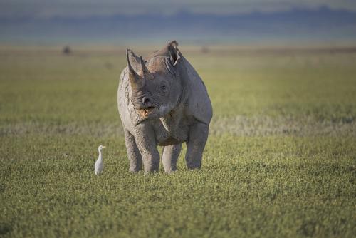 rhino ngorongoro