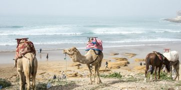 taghazout camels