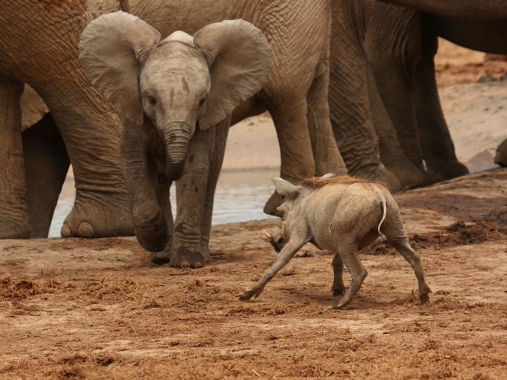 warthog and elephant