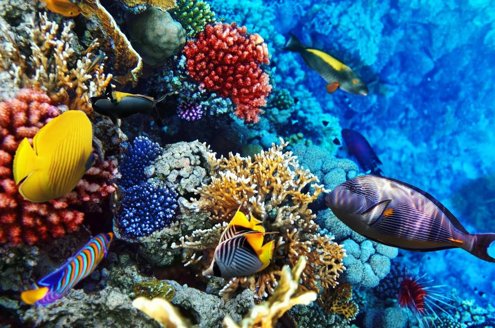 coral fish red sea