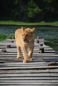 lion gweru