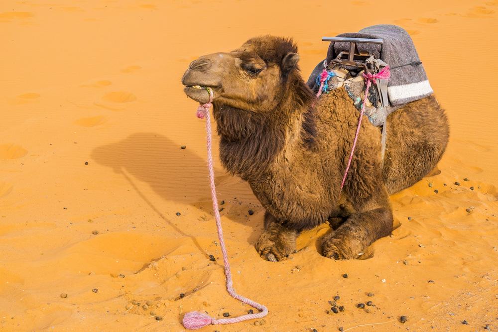 camel erg chebbi morocco