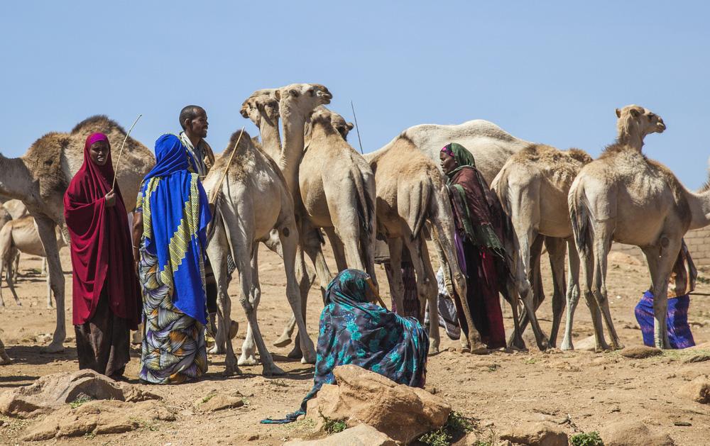 camel ethiopia