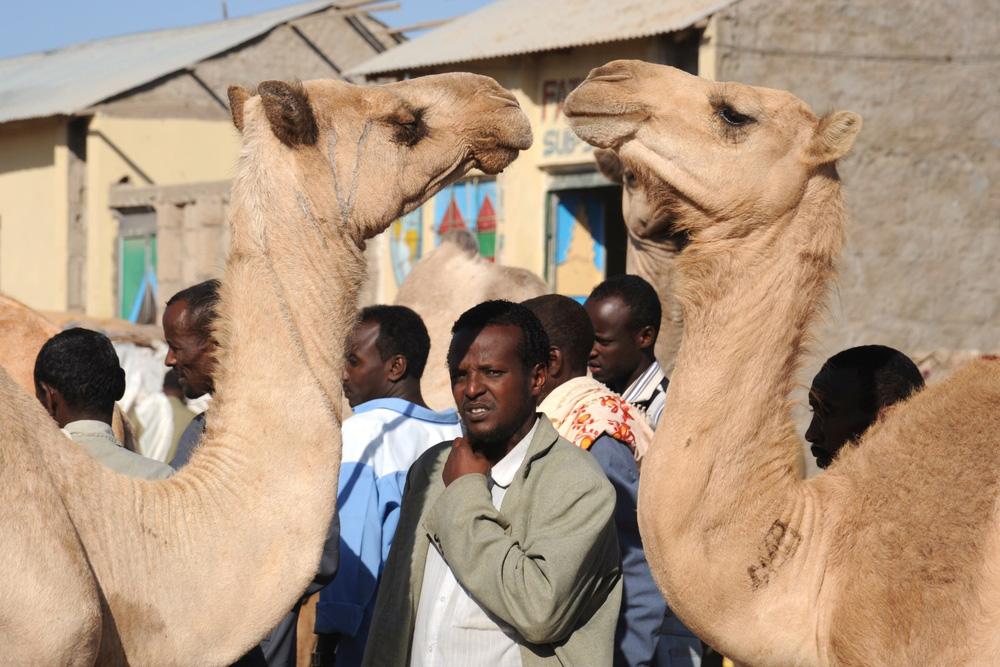 camel somalia