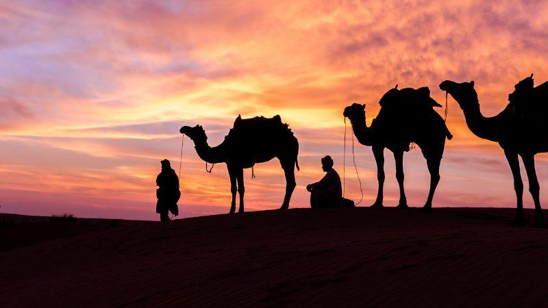 egypt camels wide