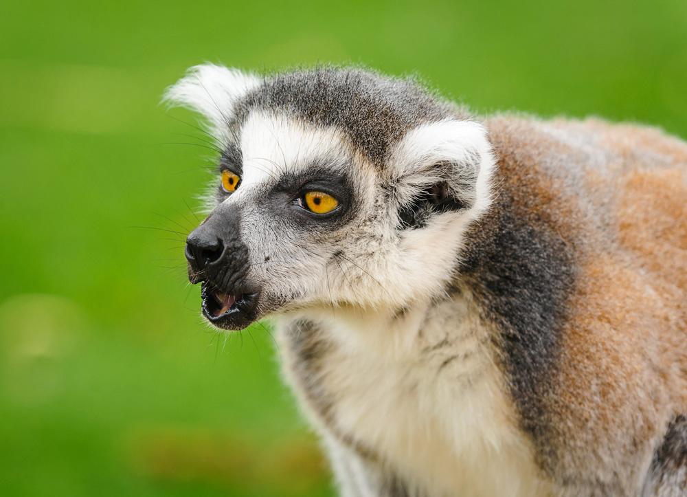 lemur calling