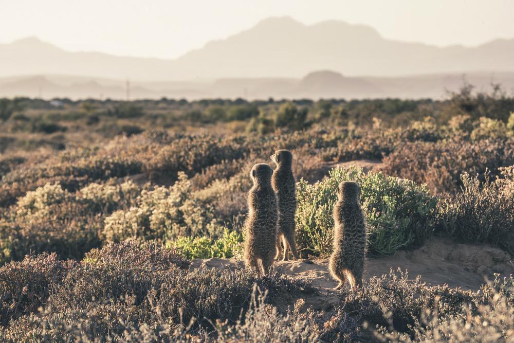 meerkats karoo