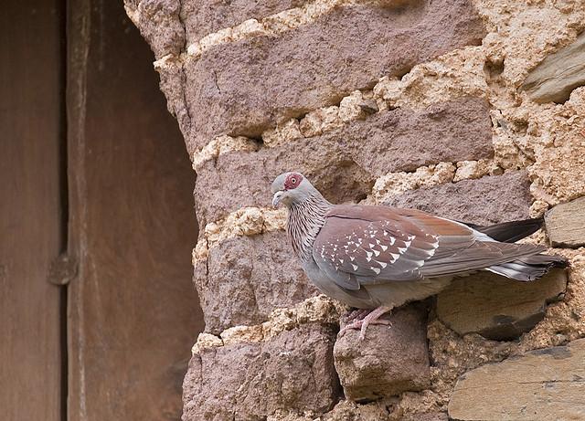 pigeon fasil ghebbi