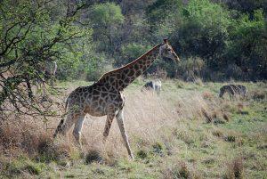rovos giraffe