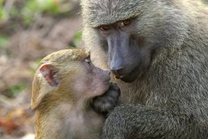 gombe stream national park baboons