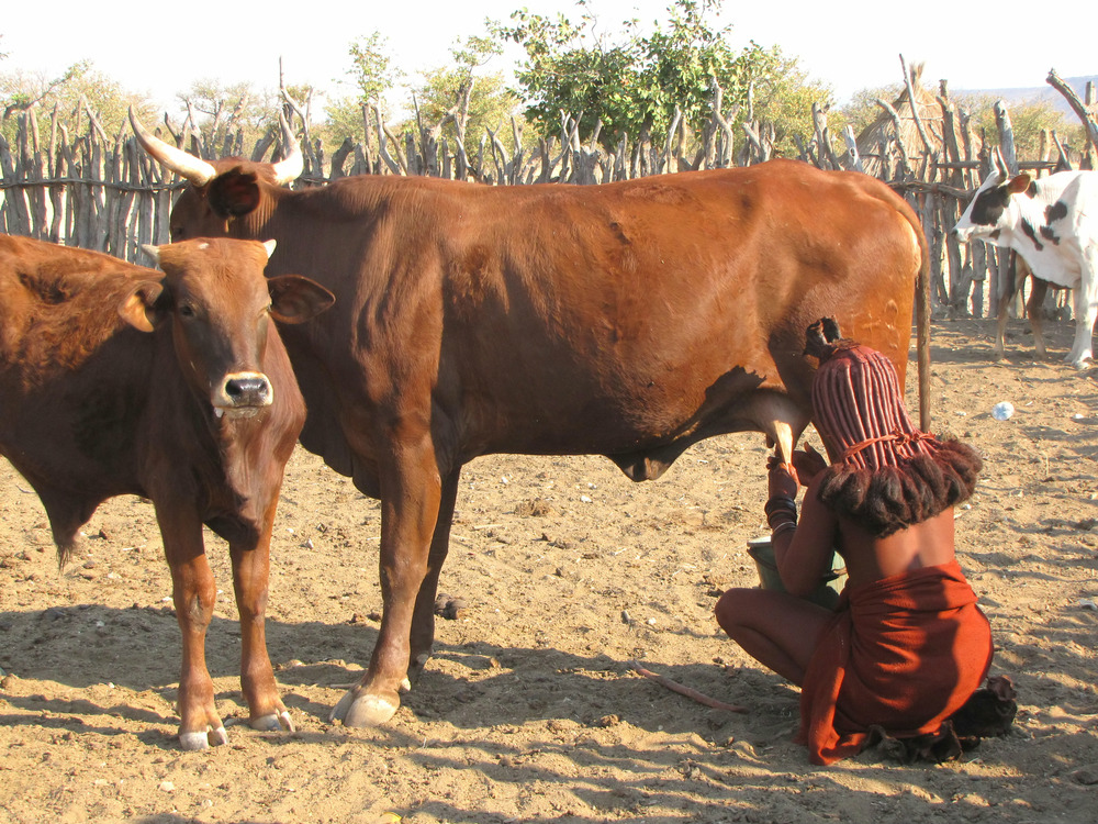 himba cattle