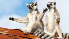 lemurs meditating