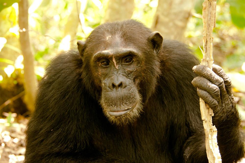 mahale mountains chimpanzee