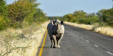 rhino road etosha