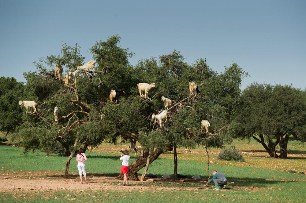 argan goat morocco