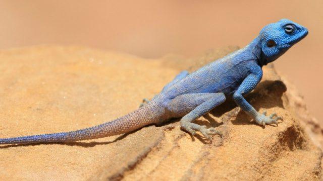 blue sinai agama lizard