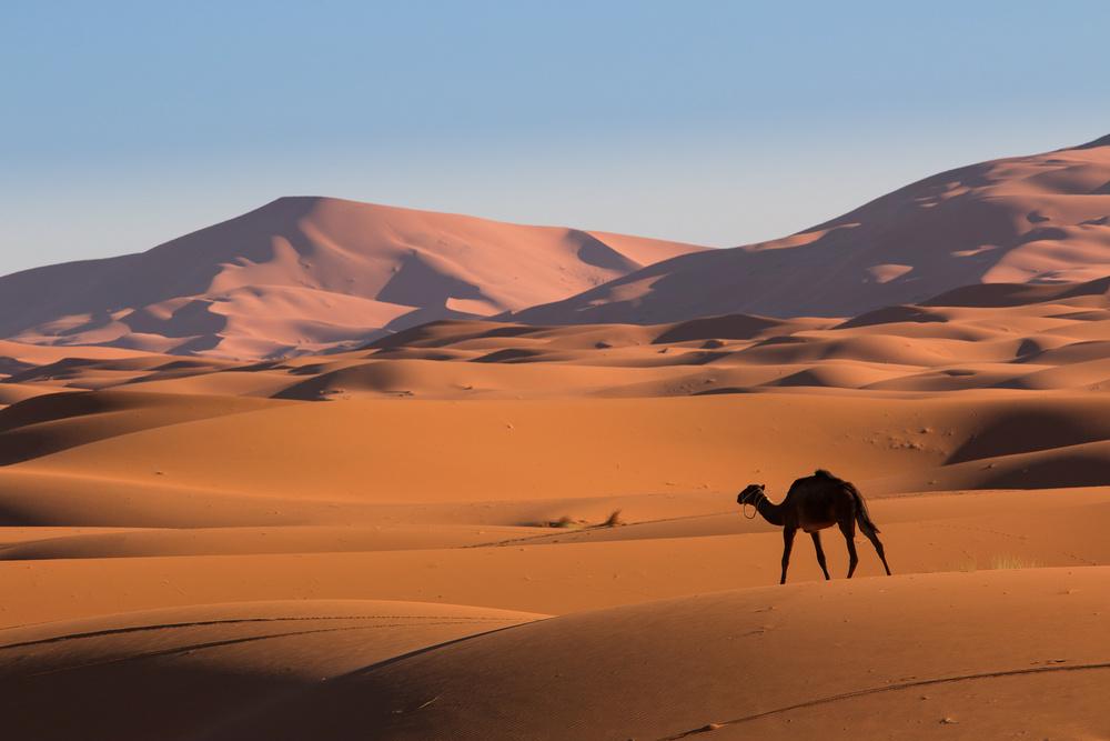 camel sahara morocco