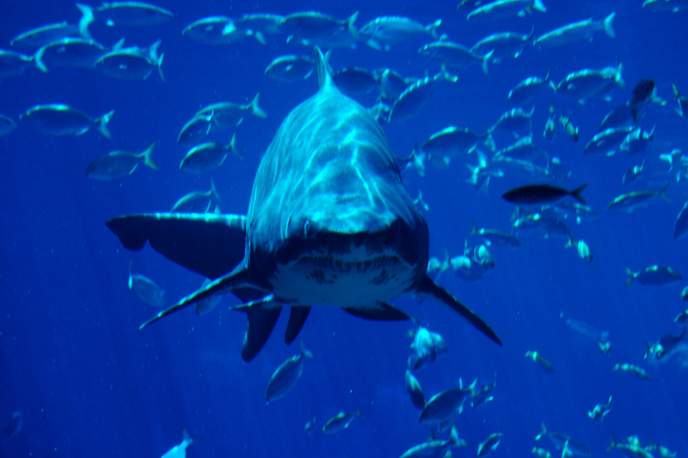 durban shark ushaka