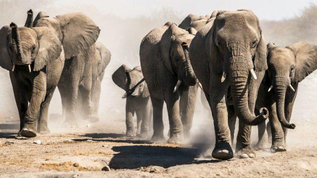 elephant herd etosha