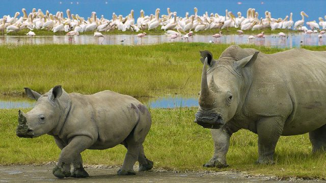 rhino walking with birds
