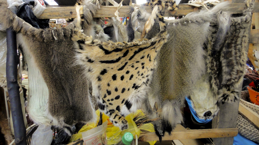 Animal skins are sold at the Manzini market. This is worn on 'traditional' days or used by witch doctors