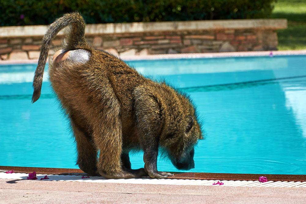 baboon hotel pool