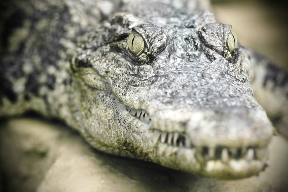 crocodile up close