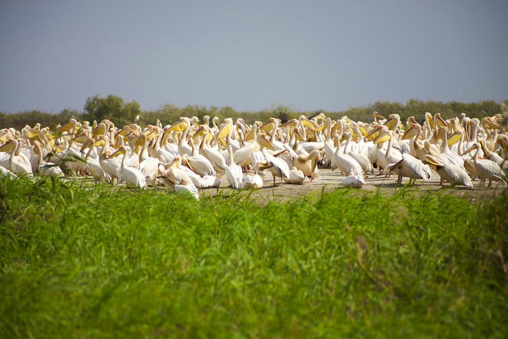 djoudj pelicans