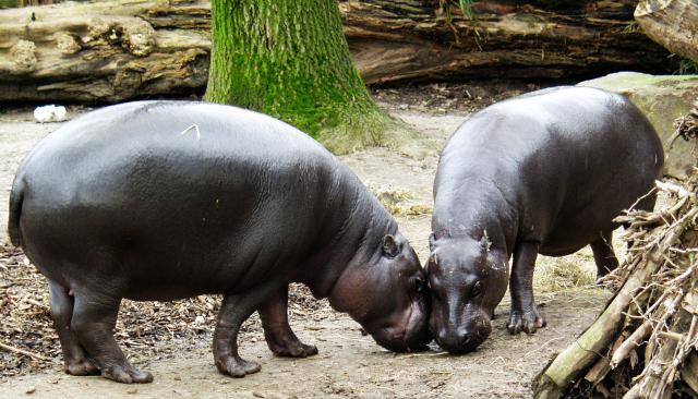 sapo pygmy hippo