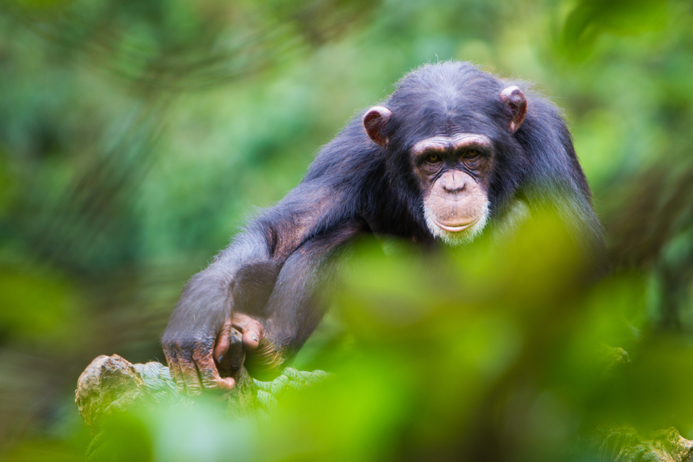 tacugama chimp