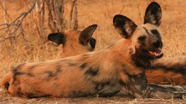african wild dogs normal