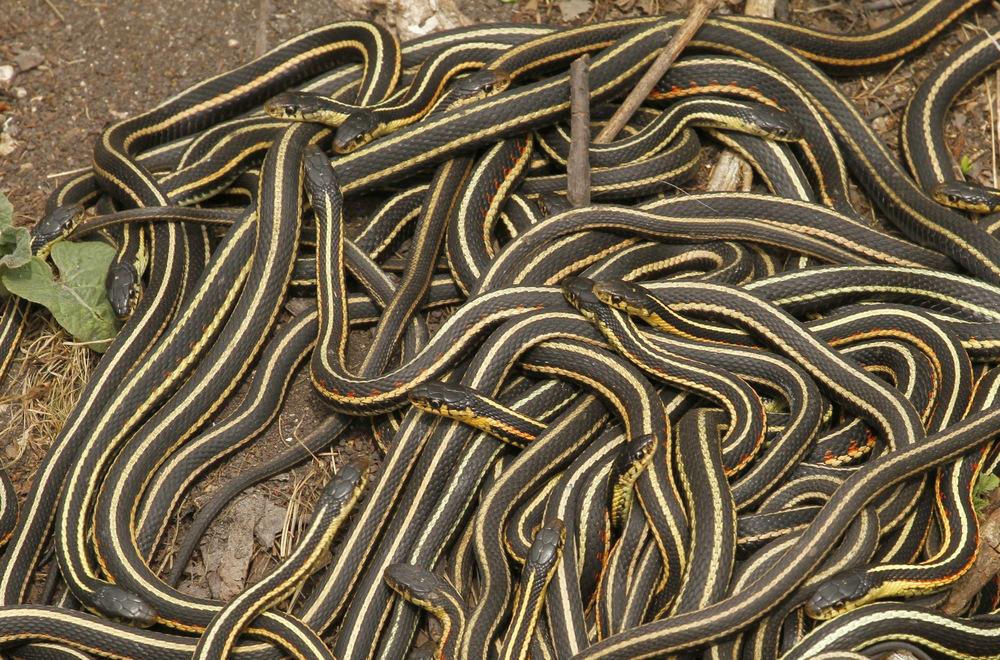 multiple snakes
