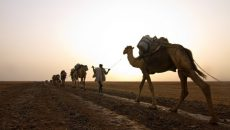 danakil camels sunset