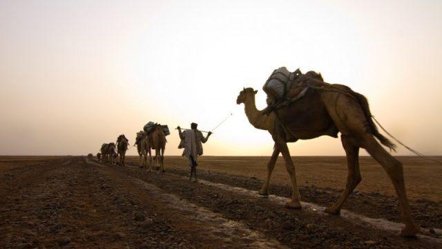 danakil camels sunset