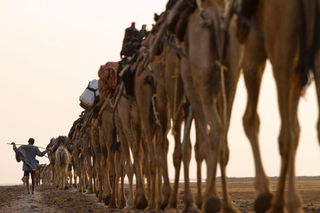 danakil camel caravan