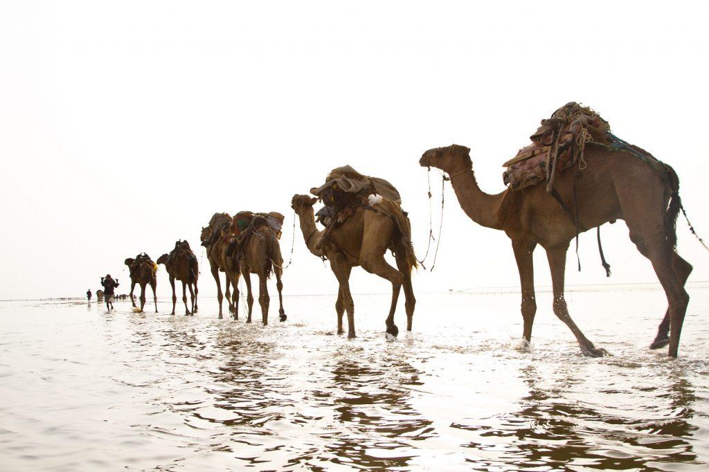 danakil camels