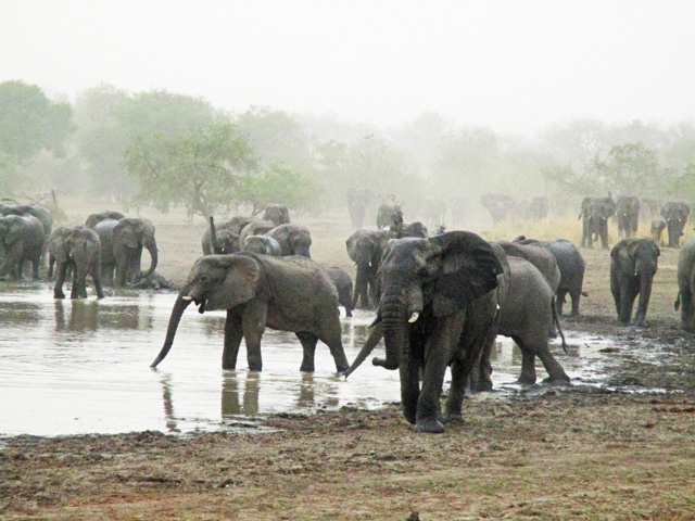 Zakouma Elephants