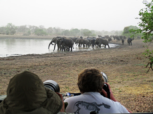 A herd of elephants arrives at the waterhole. (Photo by Susan McKee)