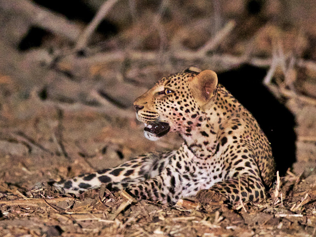 A leopard rests between hunts. (Photo by Michael Lorentz, used with permission)