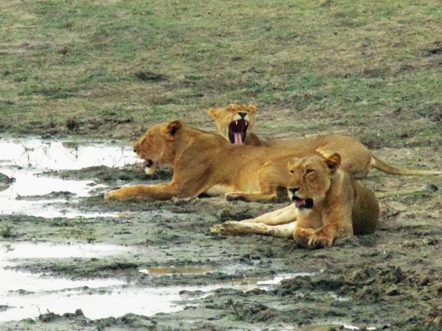 Zakouma Lions