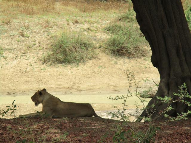 Zakouma Lion
